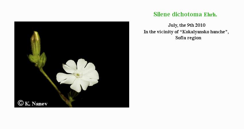 Silene Dichotoma